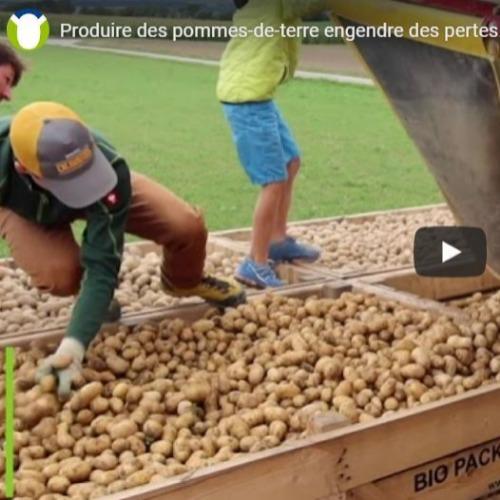 Produire des pommes-de-terre engendre des pertes. Explications par un reportage au cœur des champs